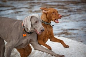 A Weimaraner and a Vizsla running near water..