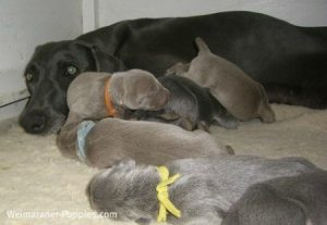 Weimaraner dog with her litter