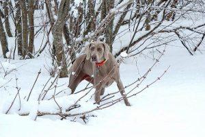 Weimaraner hunting in snowy woods