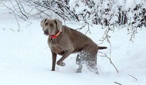 Weimaraner scent training in the snow.