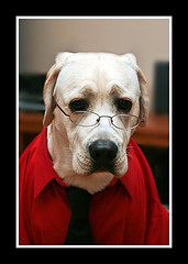 Dog with cataracts wearing glasses.