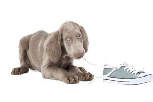 New Weimaraner puppy teething and chewing on a shoe lace