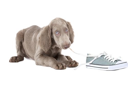 Weimaraner Dog Teething
