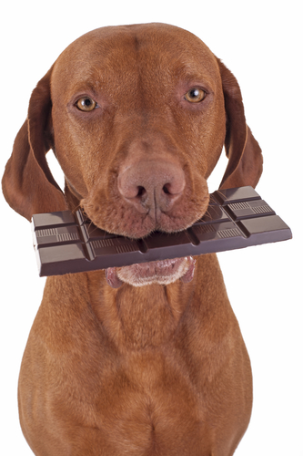 If your dog ate chocolate, it is an emergency. Dog with chocolate bar in his mouth.