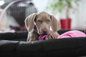 New Weimaraner puppy with her comfort blanket