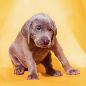 Weimaraner puppy getting ready to vomit