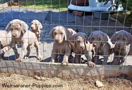 Puppy worms are natural in Weimaraner puppies like these.