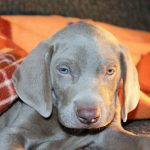Diarrhea can be serious in your new Weimaraner puppy