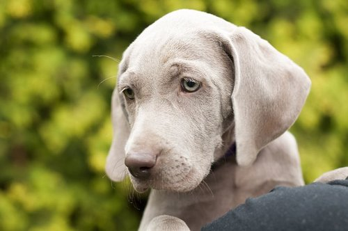 A puppy feeding schedule is healthy for your Weimaraner puppy.
