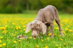 Weimaraner puppy eating things outdoors, later will be a vomiting puppy.