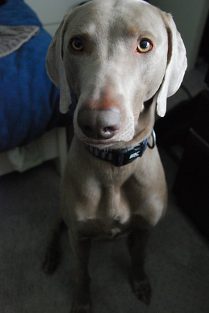 Submissive urination in a Weimaraner requires patience.