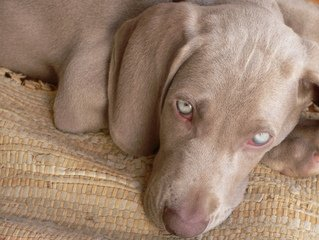 Weimaraners like this one can get canine Addison's disease.