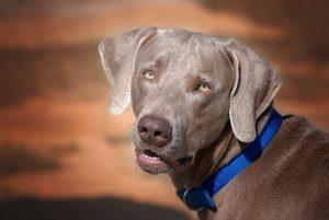 Symptoms of cushings in dogs like this Weimaraner