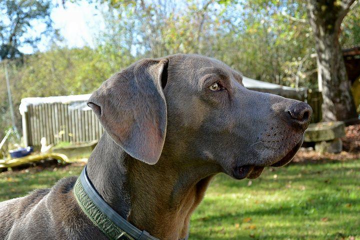 Dog hormone diseases in Weimaraners