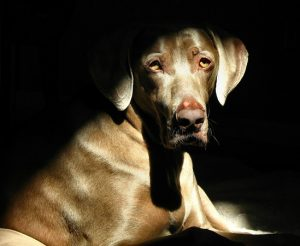 Hypothyroidism in dogs like this Weimaraner