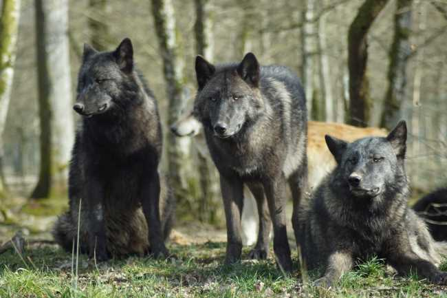 3 wolves in a pack