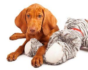 Viszla with stuffed toy