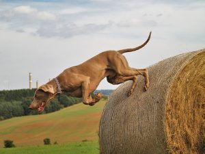Agility training for dogs like this Weimaraner keeps them in shape.