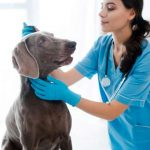 Weimaraners are prone to canine ear infections