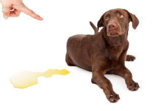 Weimaraner with dog urine stain on floor