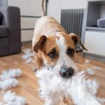 Dog with separation anxiety who tore a pillow apart