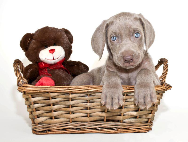 stuffed toy with Weimaraner puppy in basket
