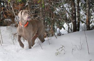 Weimaraner dog hunting in snow