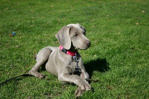 when choosing a weimaraner puppy, look for a healthy one, like this one