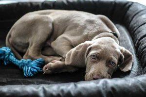 Weimaraner puppy in bed
