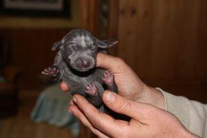 Baby Weimaraner dog puppy