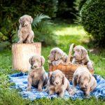 Weimaraner puppies on picnic blanket