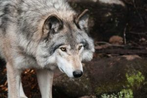 alpha dogs are similar to wolves in some ways