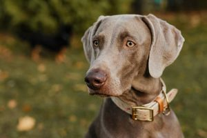 Weimaraner with beige collar