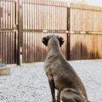 blind weimaraner dog in fence