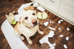 Dog with paper scraps, example of separation anxiety in older dogs