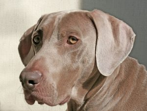 old Weimaraner dog with hearing loss
