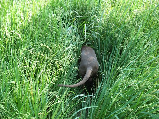 large dog after something in tall grass