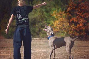 Weimaraner puppy dog training