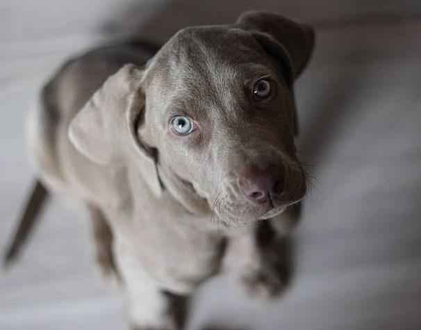 Weimaranner puppy