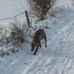 Weimaraner on a scent trail