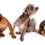 3 dogs scratching with dandruff