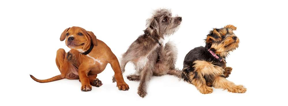 dog dandruff remedies would help stop the itching of these 3 scratching dogs