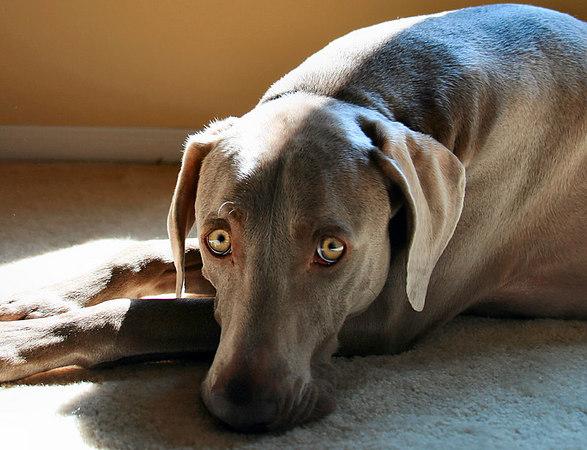 weimaraner with canine influenza