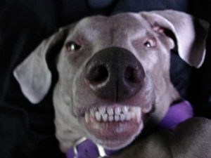 aggressive Weimaraner with teeth bared and ears standing out
