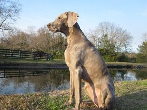 Dog arthritis symptoms appear in Weimaraners when they are 7 or 8 years old.