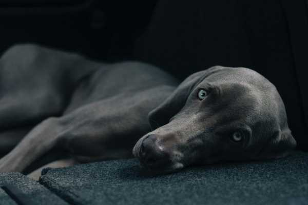 Emergency dog heat stroke treatment could save this Weimaraner who is lying down