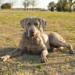 Weimaraner dog with rheumatoid arthritis, lying down on grass