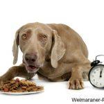 Weimaraner on dog feeding schedule with alarm clock