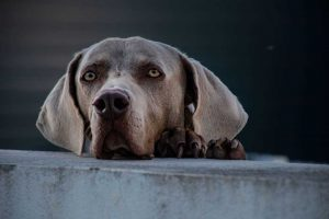 Kidney failure in dogs like this Weimaraner make them lethargic