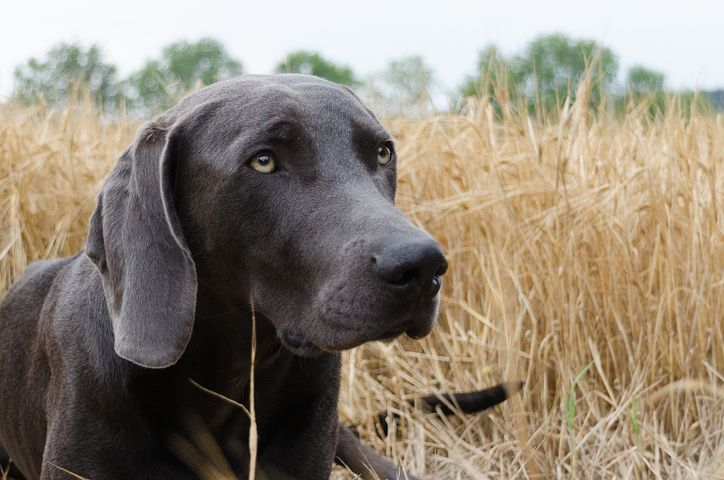 Dog cancer in Weimaraners usually develops after a dog is 10 years old